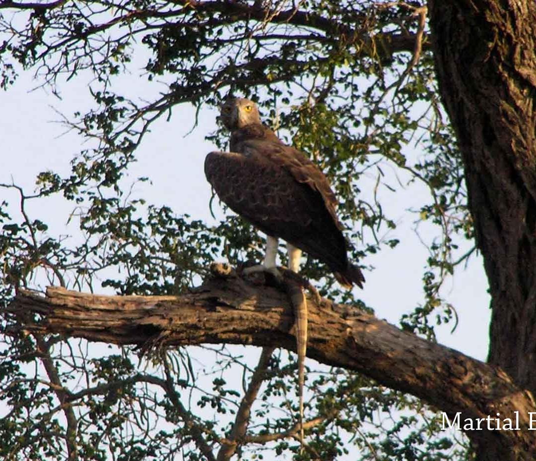 Eagle - Martial.JPG
