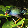 Gallinule - Purple.JPG