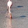 Flamingo - Galapagos.JPG