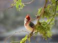Cardinal - Hawaiian.JPG