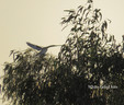 Kite - White Tailed.JPG