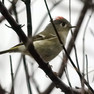 Kinglet -Rose crowned.jpg
