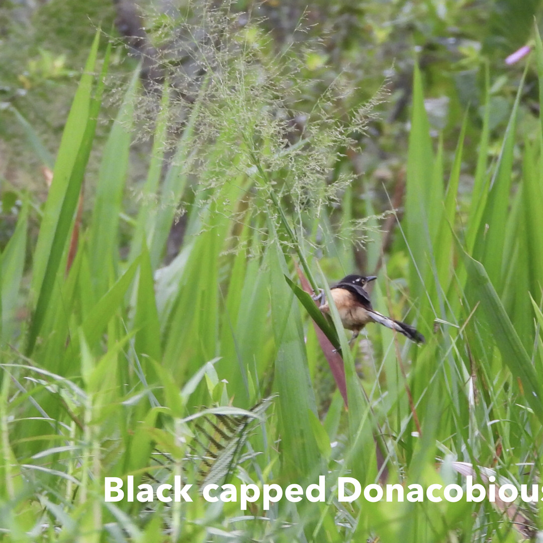 Doncubicious-Balck capped.jpg