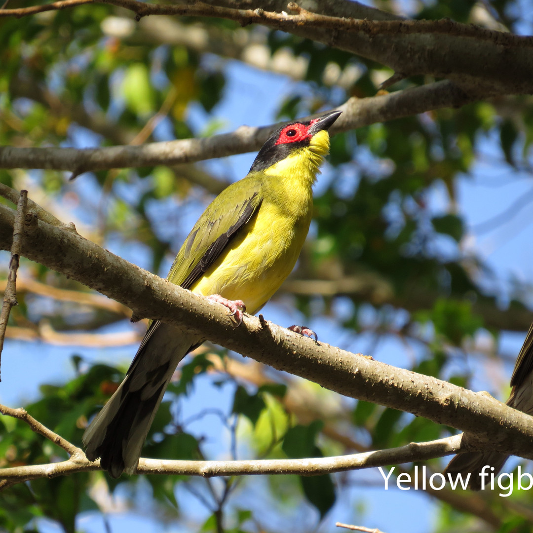 Figbird - Yellow.JPG