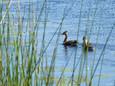 Duck-Black bellied wisteling.jpg