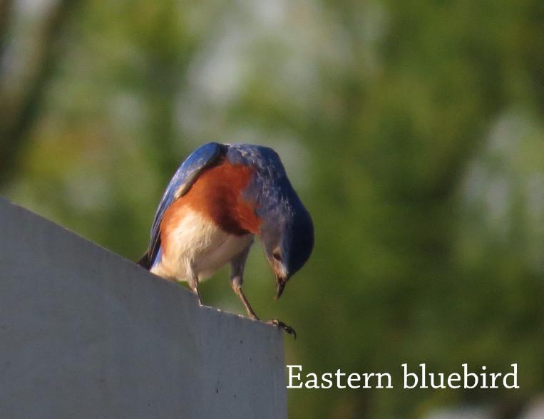 Bluebird - Eastern.JPG