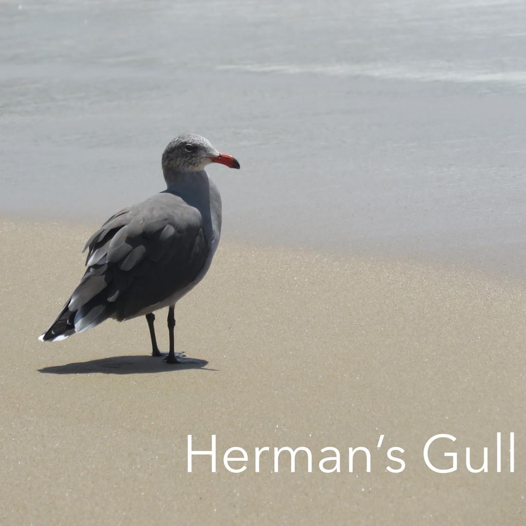 Gull-Hermans.jpg