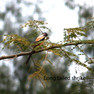 Shrike - Long Tailed.JPG