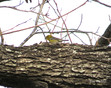 Warbler - Pine.JPG