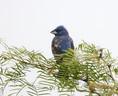 Grosbeak-Blue.jpg