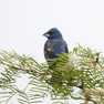 Grosbeak-Blue.jpg