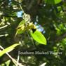 Weaver - Southern Masked.JPG