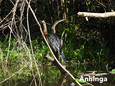 Cormorant-Anihnga Amazon.jpg