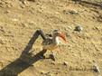 Hornbill - Red Billed.JPG