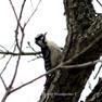 Woodpecker - Downy.JPG