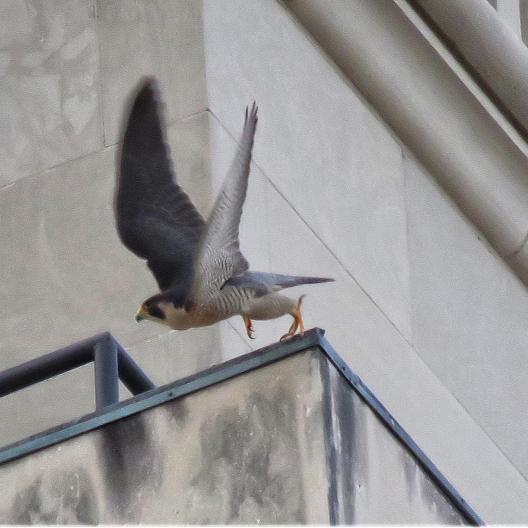 Falcon - Perigrine (3).JPG