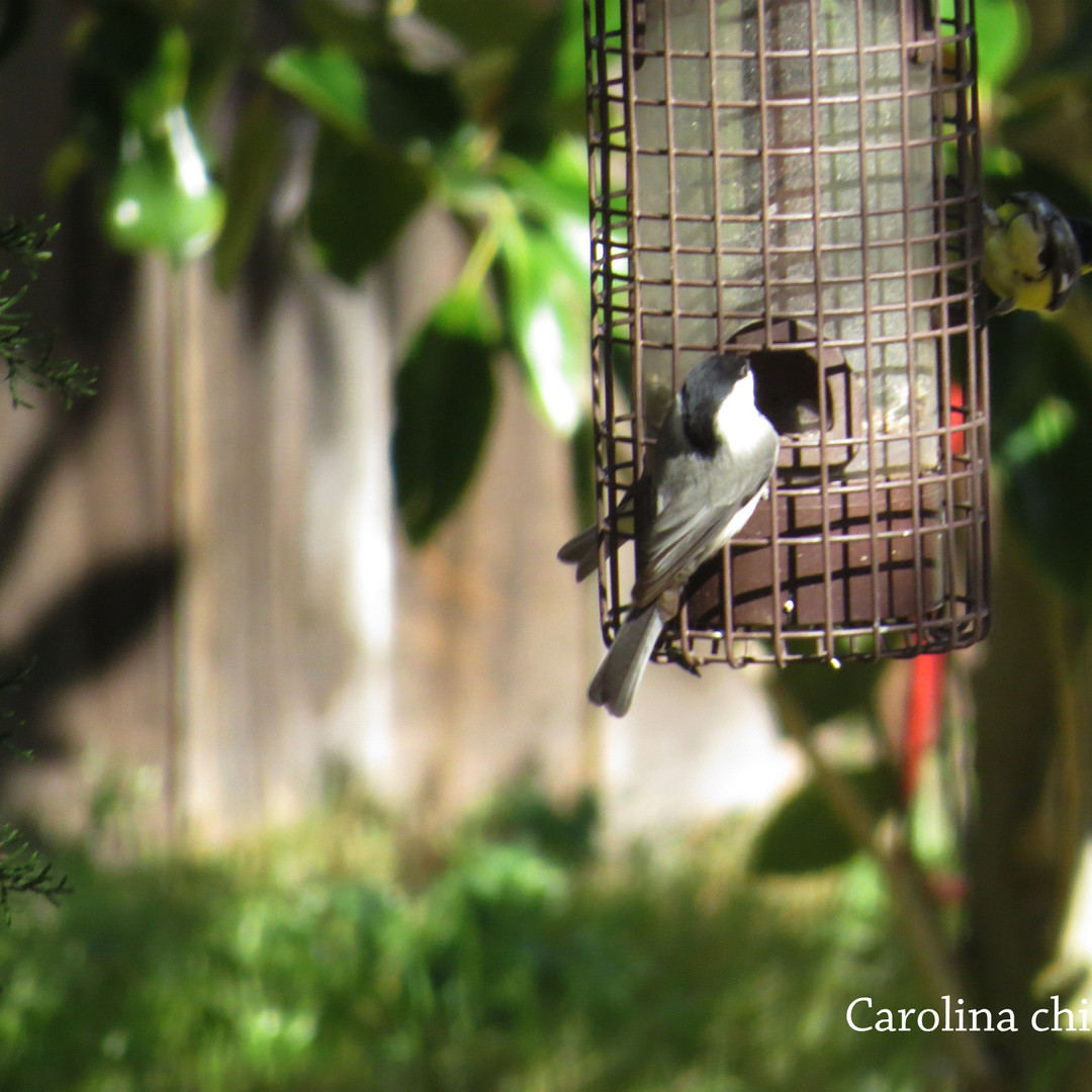 Chickadee - Carolina.JPG