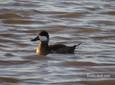 Duck - Ruddy.JPG