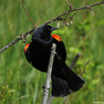 Blackbird - Redwinged.JPG