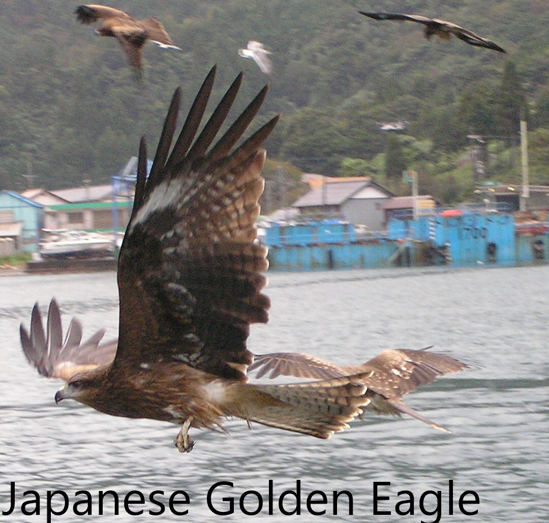 Eagle- Japanese Golden.JPG