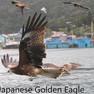 Eagle- Japanese Golden.JPG