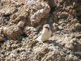 Sparrow - iago.JPG