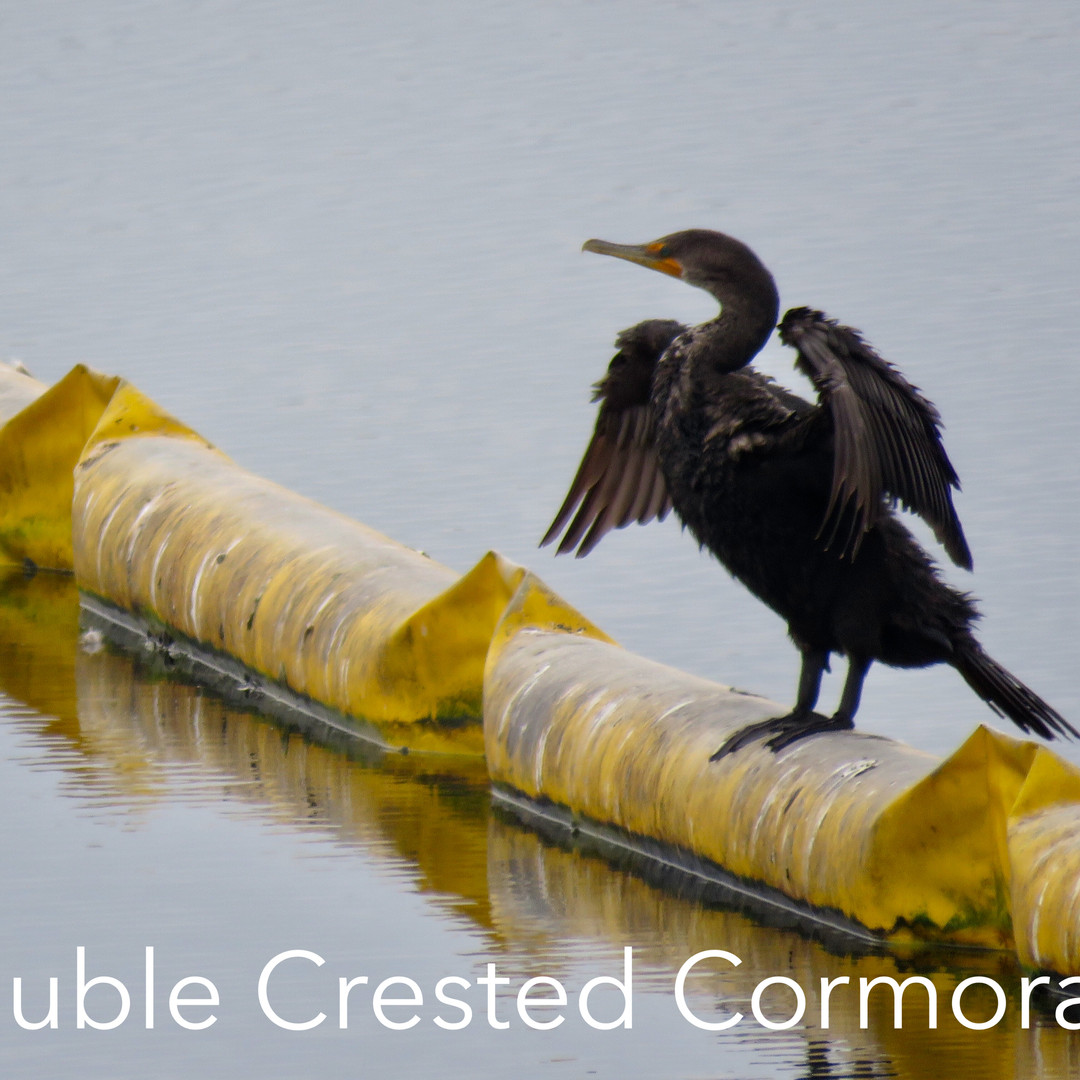 Cormorant - Double Crested.JPG