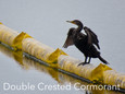 Cormorant - Double Crested.JPG