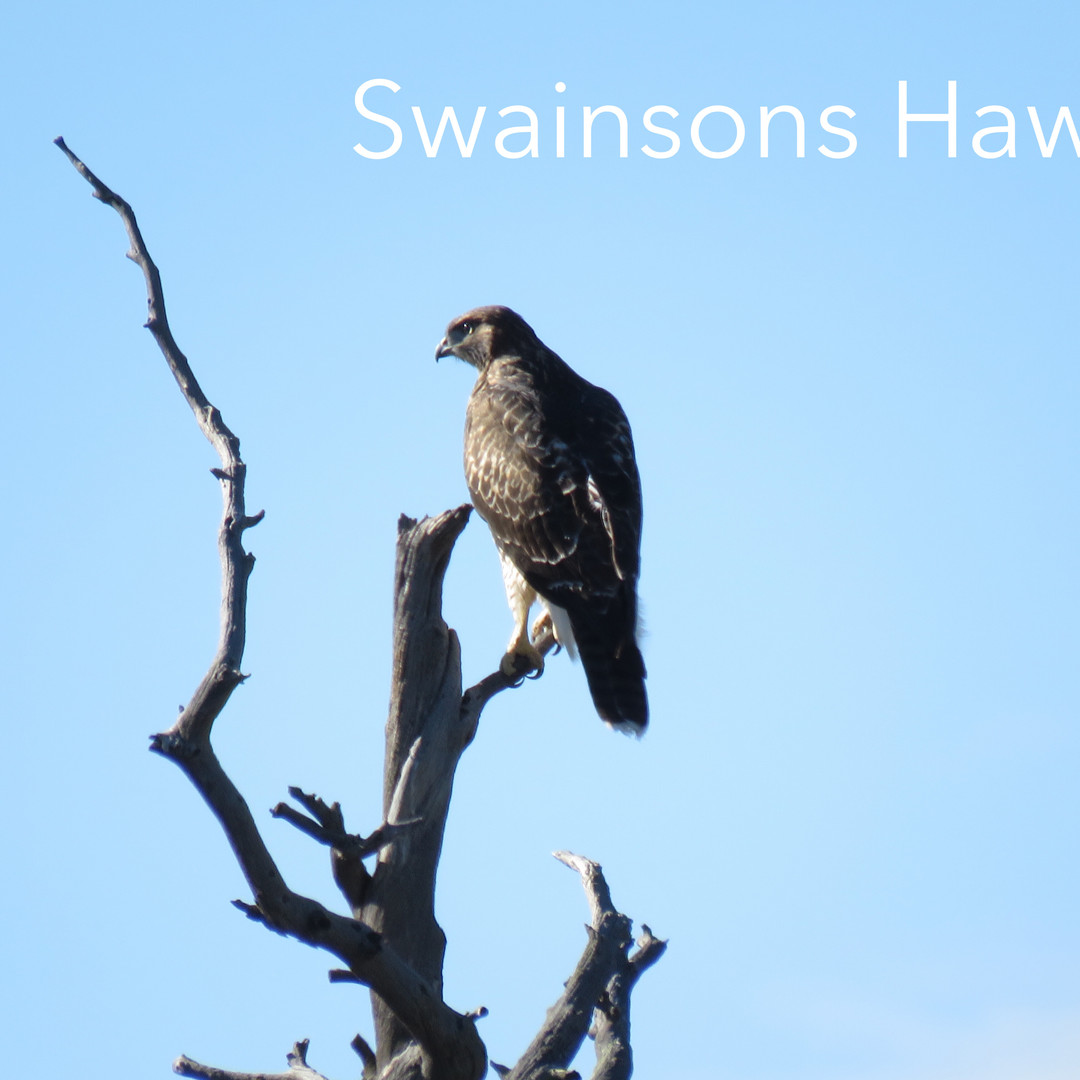 Hawk - Swainsons.JPG