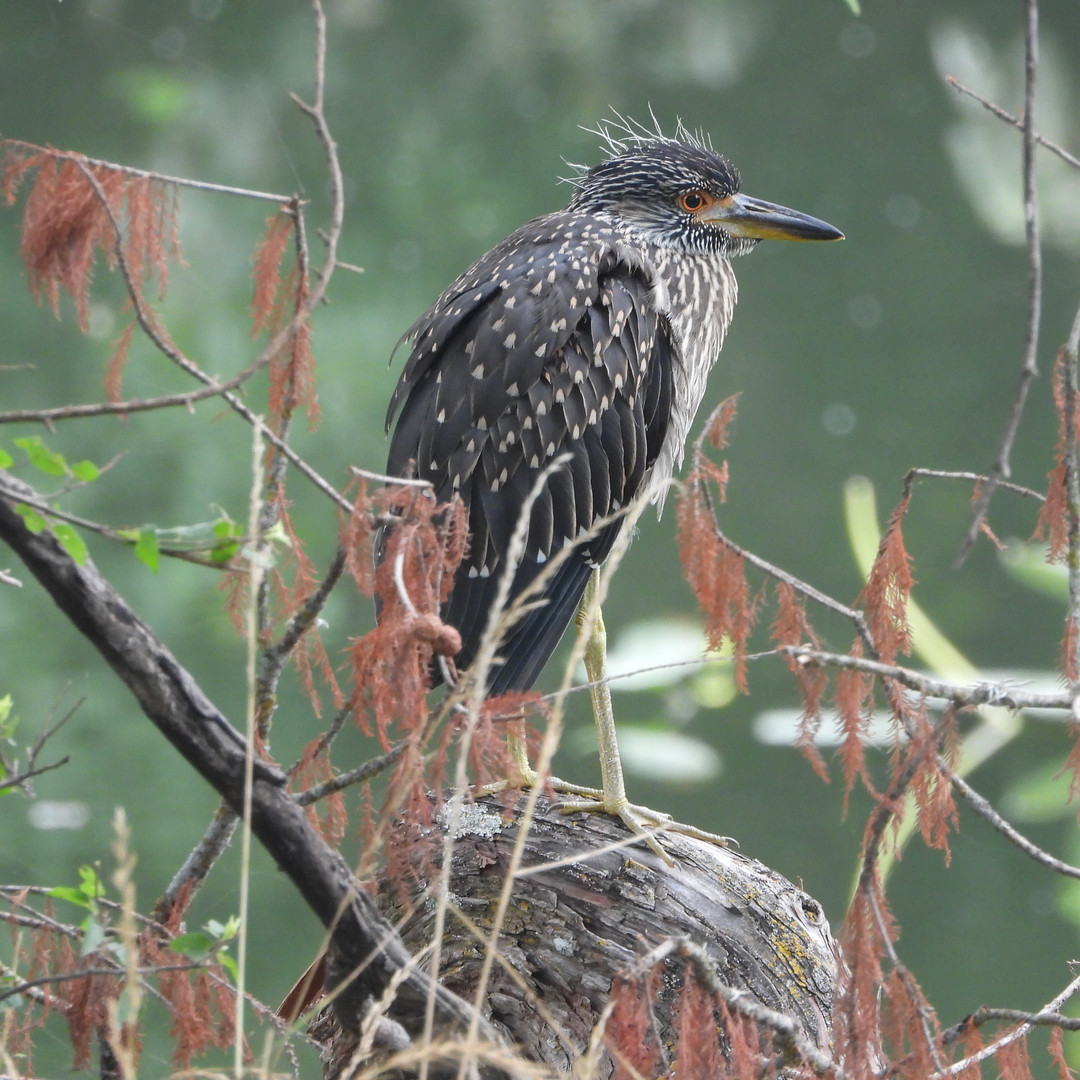 Heron-Yellow crowned night Juv..jpg