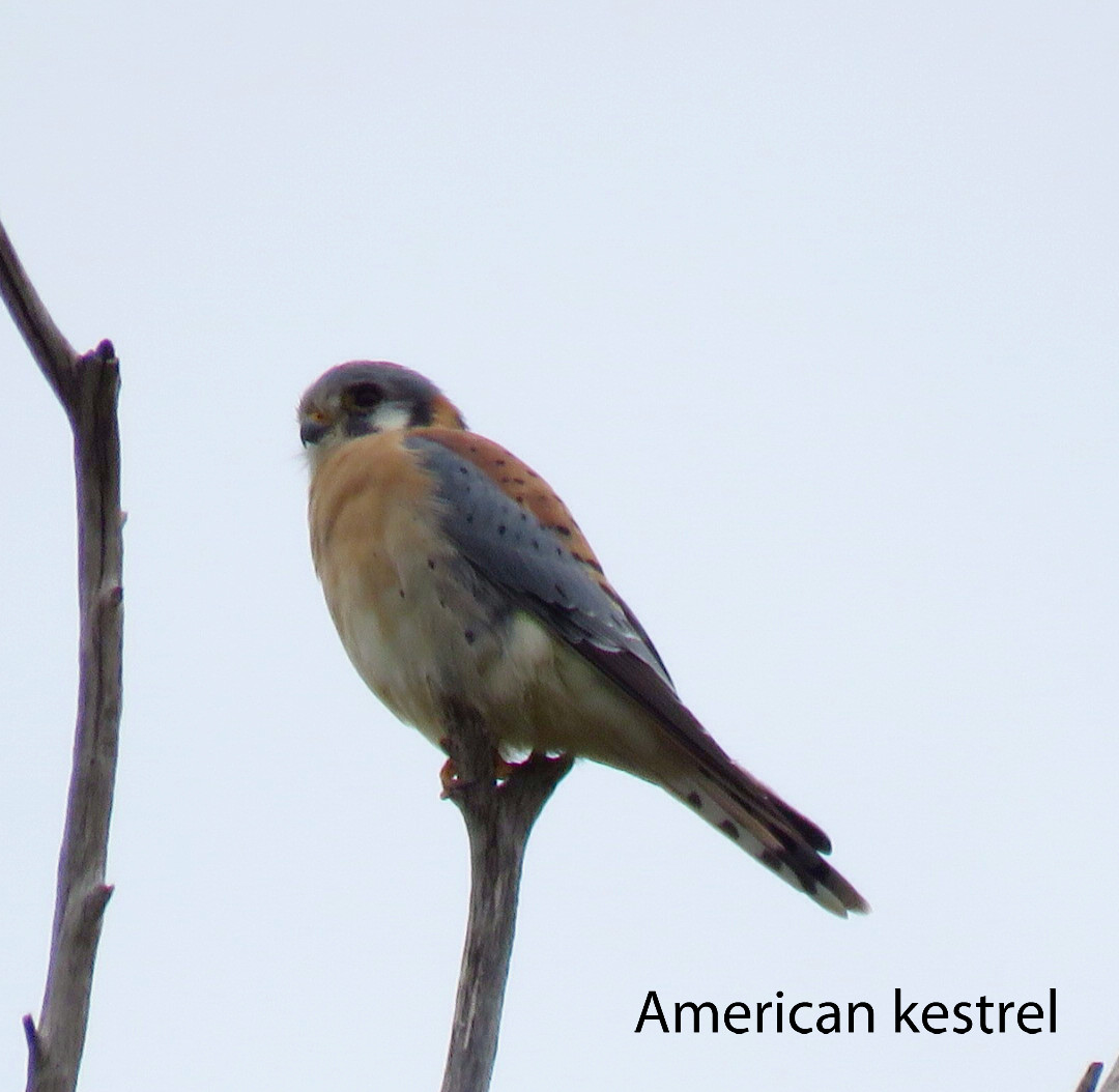 Kestrel - American (2).JPG