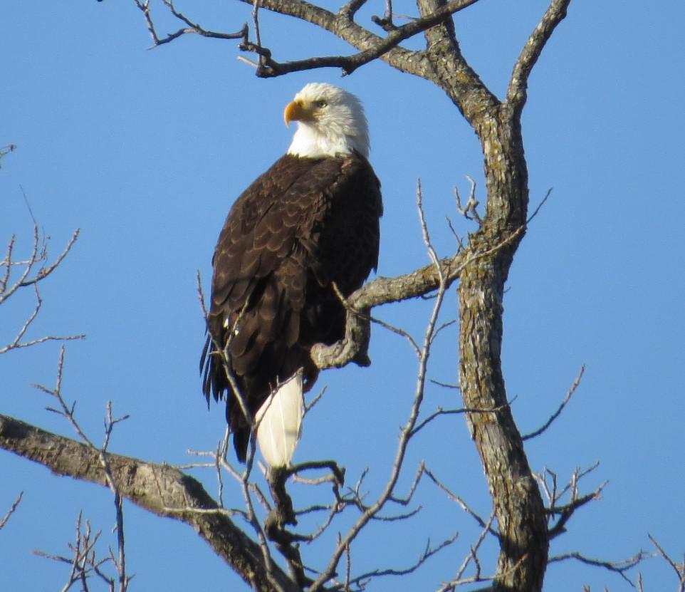Eagle Bald.JPG