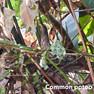 Potoo-Common.jpg