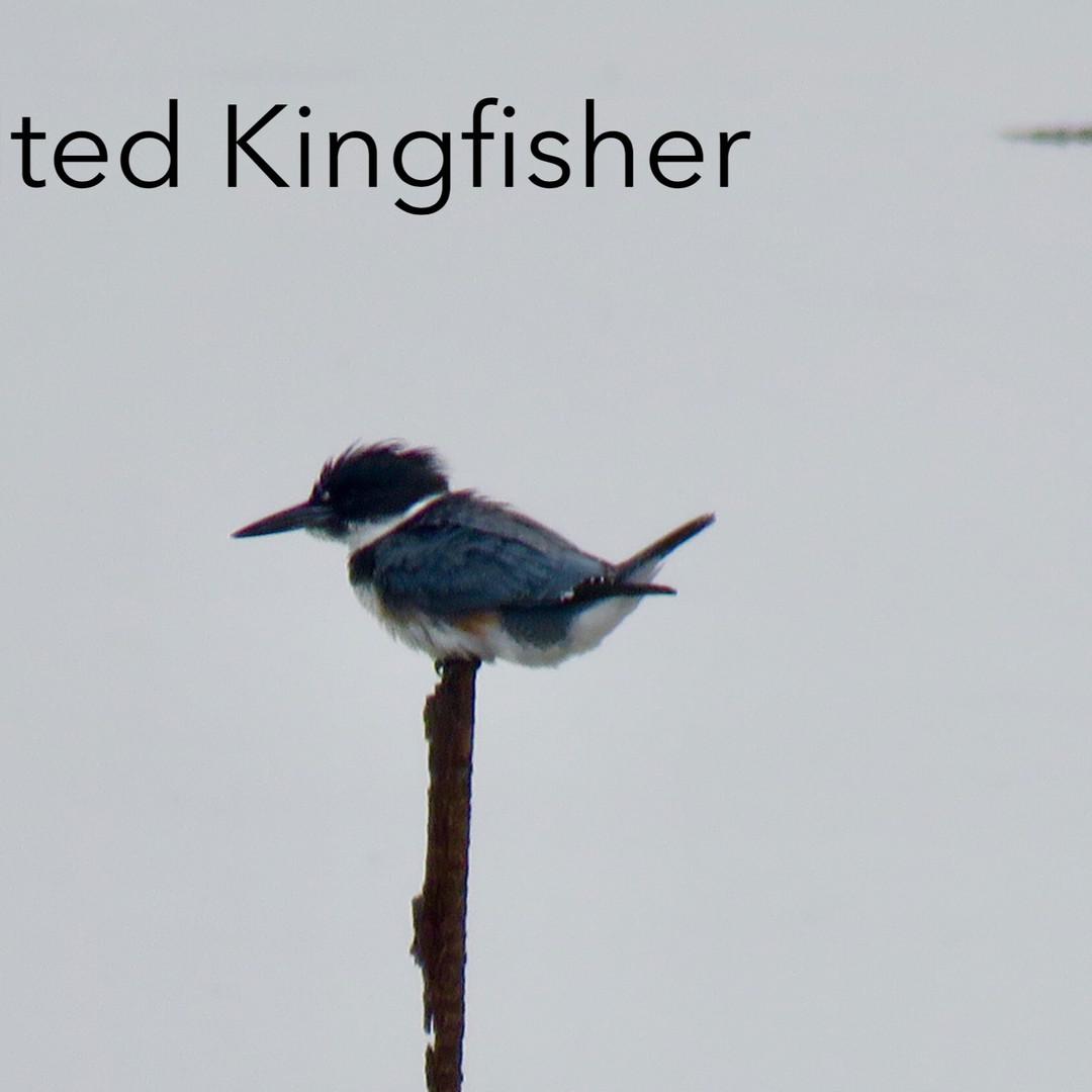 Kingfisher - Belted.JPG