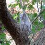 Owl - Eastern Screech.JPG