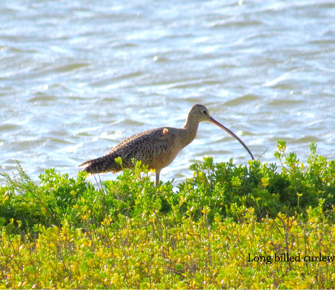 Curlew - Long Billed.JPG