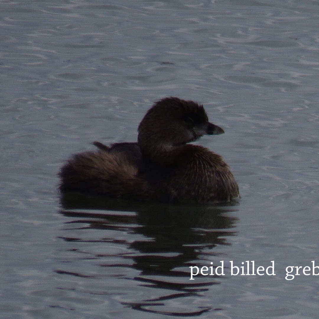 Grebe - Pied Billed.JPG