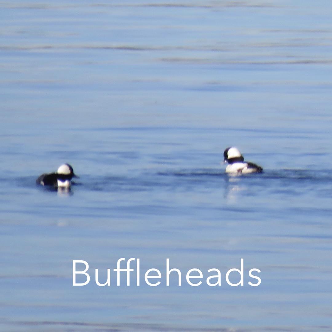 Buffelhead.jpg