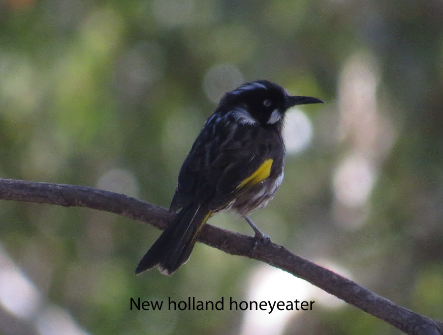 Honyeater - New Holland.JPG