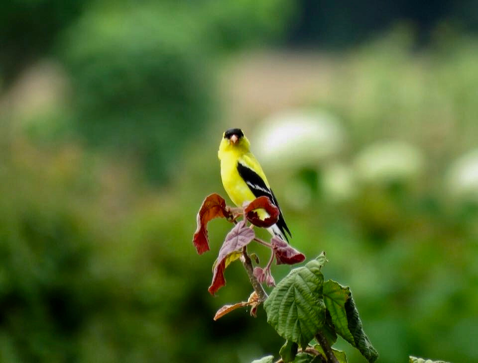Goldfinch - American (2).JPG