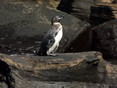 Penguin-Galapagos.jpg