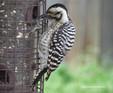 Woodpecker - Ladder Back.JPG