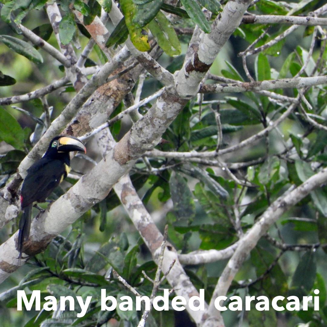 Caracari Red banded.jpg
