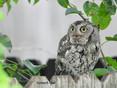 Owl-Screech.jpg