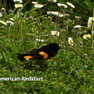 Redstart American.jpg
