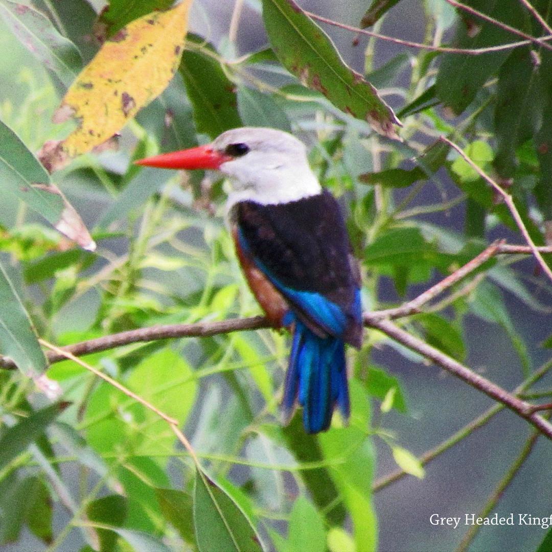 Kingfisher - Grey Headed.JPG