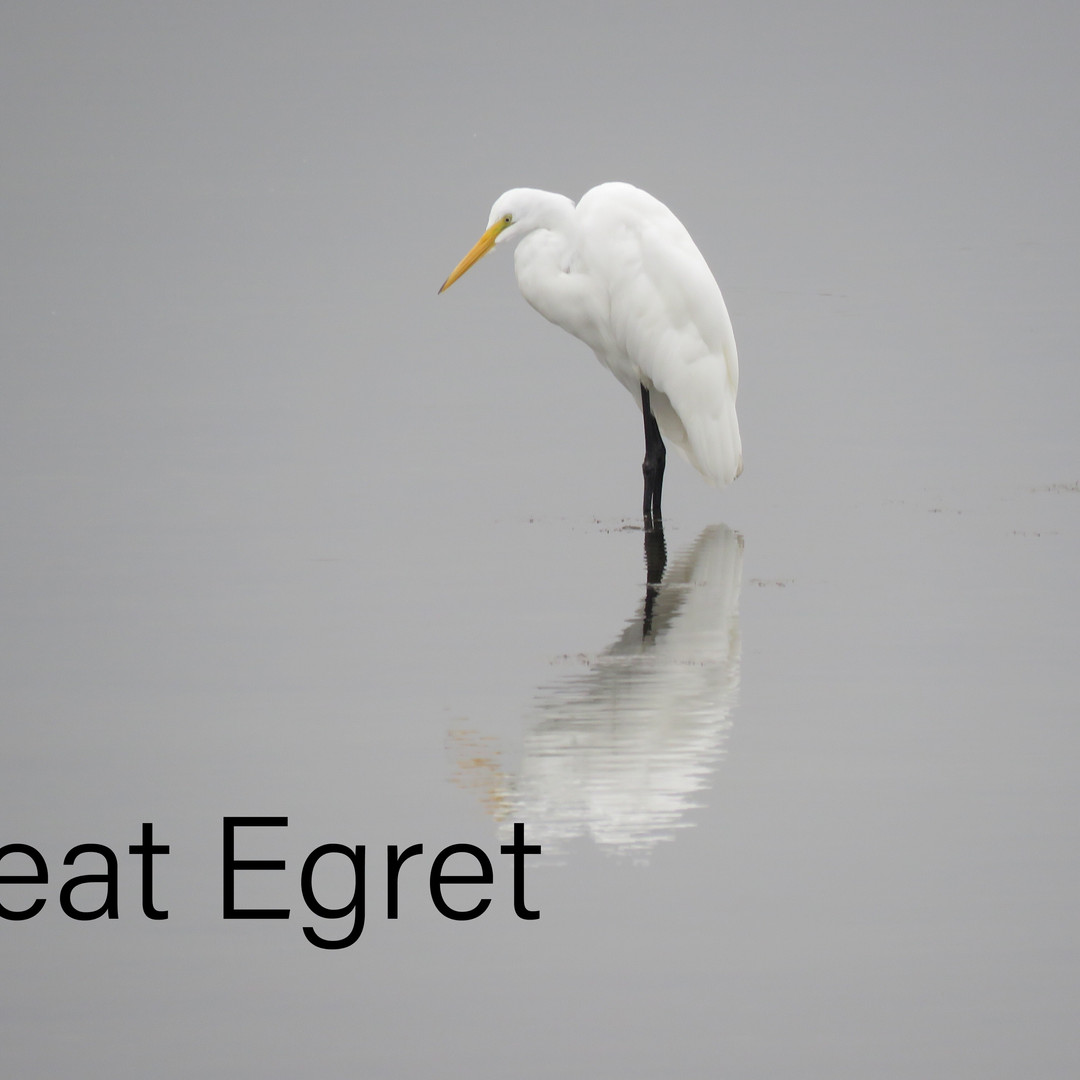 Egret - Great.JPEG