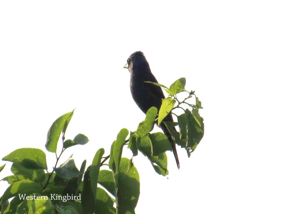 Kingbird - Western.JPG
