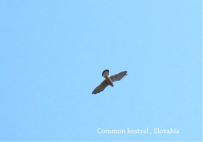 Kestrel-Common.jpg