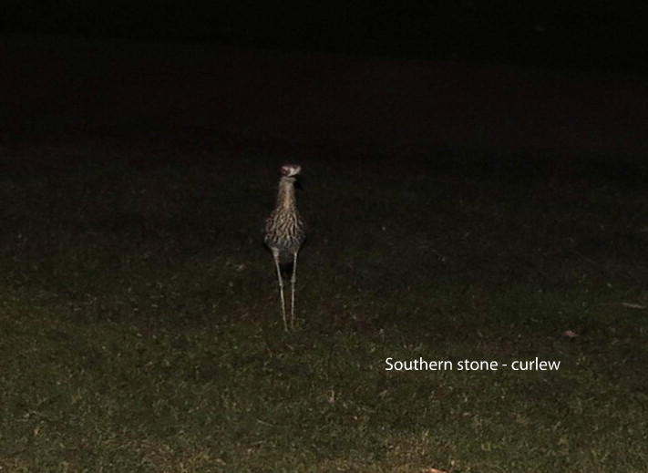 Curlew - Southern Stone.JPG